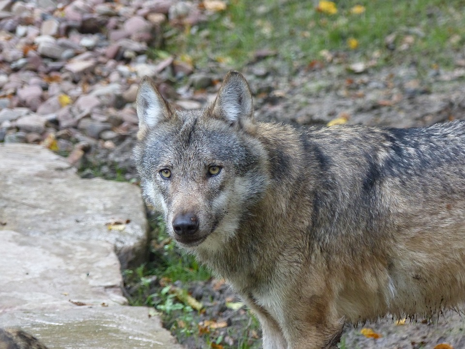 wolf-1179341_960_720