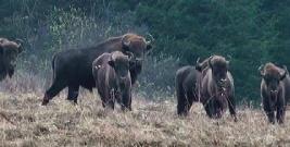 Zwierzyna policzona. Rosną populacje zwierząt chronionych: niedźwiedzi, wilków, bobrów (ZDJĘCIA)