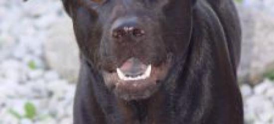 Niezaszczepiony pies ugryzł 9 letniego chłopca. Owczarek zagryzł yorka