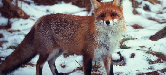 UWAGA! Szczepienie lisów, nie dotykaj przynęt!