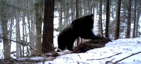 Niedźwiedź żerował na resztkach żubra (FILM)