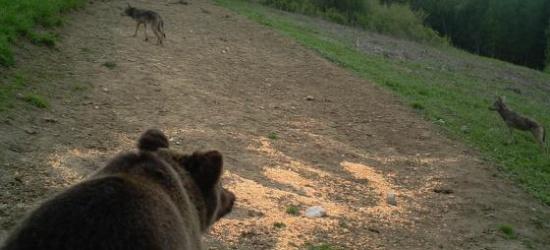Bieszczadzkie spotkanie niedźwiedzia z wilkiem (ZDJĘCIA)