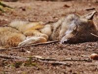 LESKO24.PL: Myśliwi stanęli przed sądem o zabicie i oskórowanie wilka w Bieszczadach