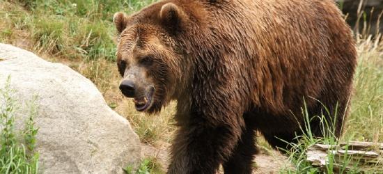 Zabił człowiek czy niedźwiedź? Biegli nie dają jednoznacznej odpowiedzi