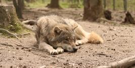 Mężczyźni obrywali skórę z martwego wilka. Chcieli sprawdzić, dlaczego umarł