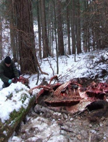 Kolejny atak wilków. Tym razem ofiarą padła żubrzyca
