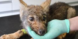 BIESZCZADY: Czekają aż wilczek nabierze wigoru i zacznie gryźć i drapać. Basiorka uratowali myśliwi i mieszkańcy Liskowatego (ZDJĘCIA)