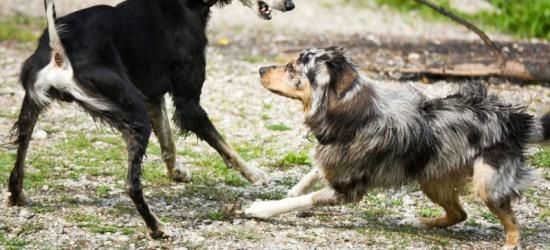 Agresywny pies zaatakował i pogryzł innego czworonoga